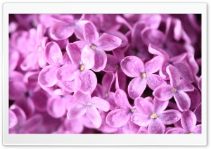 Lilac Flowers Macro HD Wide Wallpaper for Widescreen