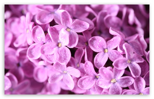 Lilac Flowers Macro HD wallpaper for Wide 16:10 5:3 Widescreen WHXGA WQXGA WUXGA WXGA WGA ; HD 16:9 High Definition WQHD QWXGA 1080p 900p 720p QHD nHD ; UHD 16:9 WQHD QWXGA 1080p 900p 720p QHD nHD ; Standard 4:3 5:4 3:2 Fullscreen UXGA XGA SVGA QSXGA SXGA DVGA HVGA HQVGA devices ( Apple PowerBook G4 iPhone 4 3G 3GS iPod Touch ) ; Tablet 1:1 ; iPad 1/2/Mini ; Mobile 4:3 5:3 3:2 16:9 5:4 - UXGA XGA SVGA WGA DVGA HVGA HQVGA devices ( Apple PowerBook G4 iPhone 4 3G 3GS iPod Touch ) WQHD QWXGA 1080p 900p 720p QHD nHD QSXGA SXGA ; Dual 5:4 QSXGA SXGA ;