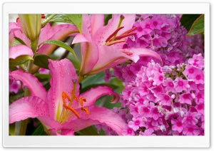 Lilies And Phlox HD Wide Wallpaper for Widescreen