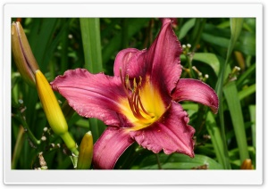 Lilium Ultra HD Wallpaper for 4K UHD Widescreen desktop, tablet & smartphone