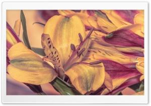 Lily Ultra HD Wallpaper for 4K UHD Widescreen desktop, tablet & smartphone