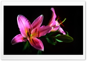 Lily HD Wide Wallpaper for 4K UHD Widescreen desktop & smartphone