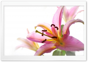 Lily HD Wide Wallpaper for Widescreen