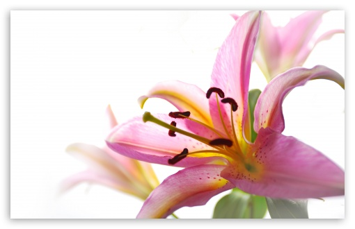 Lily UltraHD Wallpaper for Wide 16:10 5:3 Widescreen WHXGA WQXGA WUXGA WXGA WGA ; 8K UHD TV 16:9 Ultra High Definition 2160p 1440p 1080p 900p 720p ; UHD 16:9 2160p 1440p 1080p 900p 720p ; Standard 4:3 5:4 3:2 Fullscreen UXGA XGA SVGA QSXGA SXGA DVGA HVGA HQVGA ( Apple PowerBook G4 iPhone 4 3G 3GS iPod Touch ) ; Tablet 1:1 ; iPad 1/2/Mini ; Mobile 4:3 5:3 3:2 16:9 5:4 - UXGA XGA SVGA WGA DVGA HVGA HQVGA ( Apple PowerBook G4 iPhone 4 3G 3GS iPod Touch ) 2160p 1440p 1080p 900p 720p QSXGA SXGA ; Dual 5:4 QSXGA SXGA ;