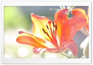 Lily Macro HD Wide Wallpaper for Widescreen