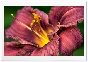 Lily Macro Ultra HD Wallpaper for 4K UHD Widescreen desktop, tablet & smartphone