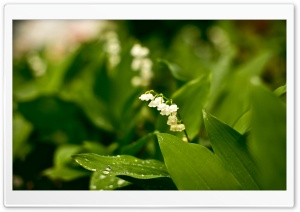 Lily Of The Valley HD Wide Wallpaper for Widescreen