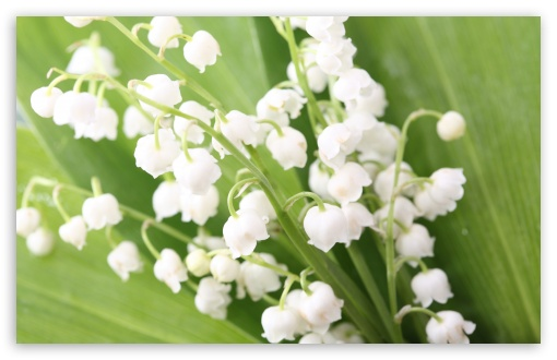 Lily Of The Valley HD wallpaper for Wide 16:10 5:3 Widescreen WHXGA WQXGA WUXGA WXGA WGA ; HD 16:9 High Definition WQHD QWXGA 1080p 900p 720p QHD nHD ; UHD 16:9 WQHD QWXGA 1080p 900p 720p QHD nHD ; Standard 4:3 5:4 3:2 Fullscreen UXGA XGA SVGA QSXGA SXGA DVGA HVGA HQVGA devices ( Apple PowerBook G4 iPhone 4 3G 3GS iPod Touch ) ; Tablet 1:1 ; iPad 1/2/Mini ; Mobile 4:3 5:3 3:2 16:9 5:4 - UXGA XGA SVGA WGA DVGA HVGA HQVGA devices ( Apple PowerBook G4 iPhone 4 3G 3GS iPod Touch ) WQHD QWXGA 1080p 900p 720p QHD nHD QSXGA SXGA ;