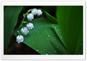 Lily Of The Valley HD Wide Wallpaper for 4K UHD Widescreen desktop & smartphone