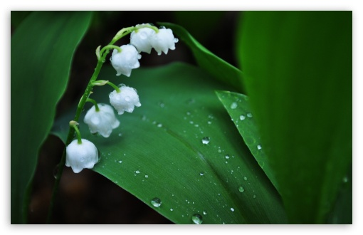 Lily Of The Valley ❤ 4K UHD Wallpaper for Wide 16:10 5:3 Widescreen WHXGA WQXGA WUXGA WXGA WGA ; 4K UHD 16:9 Ultra High Definition 2160p 1440p 1080p 900p 720p ; Standard 4:3 5:4 3:2 Fullscreen UXGA XGA SVGA QSXGA SXGA DVGA HVGA HQVGA ( Apple PowerBook G4 iPhone 4 3G 3GS iPod Touch ) ; Tablet 1:1 ; iPad 1/2/Mini ; Mobile 4:3 5:3 3:2 16:9 5:4 - UXGA XGA SVGA WGA DVGA HVGA HQVGA ( Apple PowerBook G4 iPhone 4 3G 3GS iPod Touch ) 2160p 1440p 1080p 900p 720p QSXGA SXGA ;