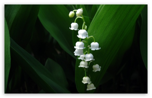 Lily Of The Valley HD wallpaper for Wide 16:10 5:3 Widescreen WHXGA WQXGA WUXGA WXGA WGA ; HD 16:9 High Definition WQHD QWXGA 1080p 900p 720p QHD nHD ; Standard 4:3 5:4 3:2 Fullscreen UXGA XGA SVGA QSXGA SXGA DVGA HVGA HQVGA devices ( Apple PowerBook G4 iPhone 4 3G 3GS iPod Touch ) ; Tablet 1:1 ; iPad 1/2/Mini ; Mobile 4:3 5:3 3:2 16:9 5:4 - UXGA XGA SVGA WGA DVGA HVGA HQVGA devices ( Apple PowerBook G4 iPhone 4 3G 3GS iPod Touch ) WQHD QWXGA 1080p 900p 720p QHD nHD QSXGA SXGA ;