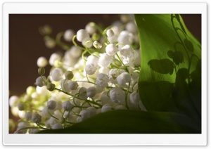 Lily Of The Valley Bouquet HD Wide Wallpaper for Widescreen