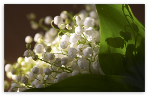 Lily Of The Valley Bouquet HD wallpaper for Wide 16:10 5:3 Widescreen WHXGA WQXGA WUXGA WXGA WGA ; HD 16:9 High Definition WQHD QWXGA 1080p 900p 720p QHD nHD ; Standard 4:3 5:4 3:2 Fullscreen UXGA XGA SVGA QSXGA SXGA DVGA HVGA HQVGA devices ( Apple PowerBook G4 iPhone 4 3G 3GS iPod Touch ) ; Tablet 1:1 ; iPad 1/2/Mini ; Mobile 4:3 5:3 3:2 16:9 5:4 - UXGA XGA SVGA WGA DVGA HVGA HQVGA devices ( Apple PowerBook G4 iPhone 4 3G 3GS iPod Touch ) WQHD QWXGA 1080p 900p 720p QHD nHD QSXGA SXGA ; Dual 16:10 4:3 5:4 WHXGA WQXGA WUXGA WXGA UXGA XGA SVGA QSXGA SXGA ;
