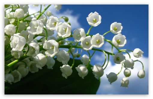 Lily Of The Valley Flower HD wallpaper for Standard 4:3 5:4 Fullscreen UXGA XGA SVGA QSXGA SXGA ; Wide 16:10 5:3 Widescreen WHXGA WQXGA WUXGA WXGA WGA ; HD 16:9 High Definition WQHD QWXGA 1080p 900p 720p QHD nHD ; Other 3:2 DVGA HVGA HQVGA devices ( Apple PowerBook G4 iPhone 4 3G 3GS iPod Touch ) ; Mobile VGA WVGA iPhone iPad PSP Phone - VGA QVGA Smartphone ( PocketPC GPS iPod Zune BlackBerry HTC Samsung LG Nokia Eten Asus ) WVGA WQVGA Smartphone ( HTC Samsung Sony Ericsson LG Vertu MIO ) HVGA Smartphone ( Apple iPhone iPod BlackBerry HTC Samsung Nokia ) Sony PSP Zune HD Zen ;