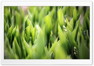 Lily Of The Valley Leaves HD Wide Wallpaper for Widescreen