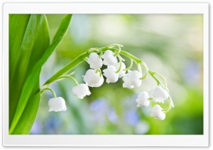 Lily Of The Valley Macro HD Wide Wallpaper for Widescreen