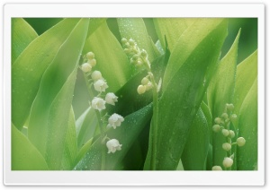 Lily Of The Valley With Water Drops HD Wide Wallpaper for Widescreen