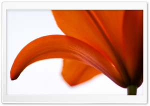 Lily on White Background HD Wide Wallpaper for Widescreen
