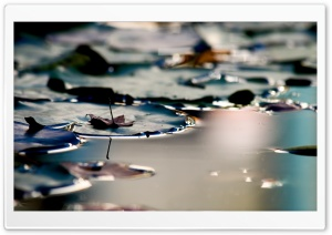Lily Pads HD Wide Wallpaper for Widescreen