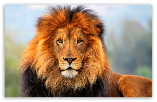 Lion HD wallpaper for Standard 4:3 5:4 Fullscreen UXGA XGA SVGA QSXGA SXGA ; Wide 16:10 5:3 Widescreen WHXGA WQXGA WUXGA WXGA WGA ; HD 16:9 High Definition WQHD QWXGA 1080p 900p 720p QHD nHD ; Other 3:2 DVGA HVGA HQVGA devices ( Apple PowerBook G4 iPhone 4 3G 3GS iPod Touch ) ; Mobile VGA WVGA iPhone iPad PSP Phone - VGA QVGA Smartphone ( PocketPC GPS iPod Zune BlackBerry HTC Samsung LG Nokia Eten Asus ) WVGA WQVGA Smartphone ( HTC Samsung Sony Ericsson LG Vertu MIO ) HVGA Smartphone ( Apple iPhone iPod BlackBerry HTC Samsung Nokia ) Sony PSP Zune HD Zen ; Tablet 2 Android ; Dual 4:3 5:4 16:10 5:3 16:9 UXGA XGA SVGA QSXGA SXGA WHXGA WQXGA WUXGA WXGA WGA WQHD QWXGA 1080p 900p 720p QHD nHD ;