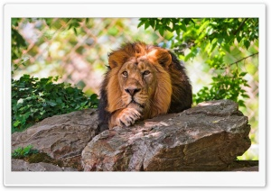 Lion HD Wide Wallpaper for Widescreen