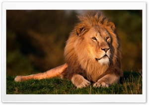 Lion Ultra HD Wallpaper for 4K UHD Widescreen desktop, tablet & smartphone