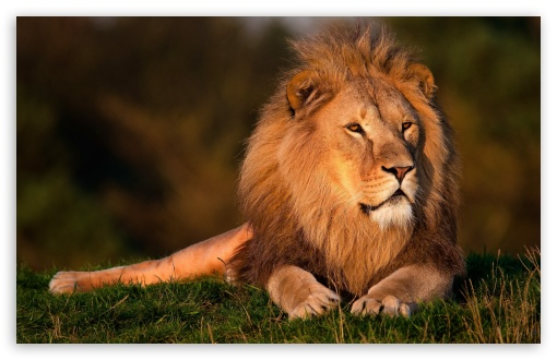 Lion ❤ 4K UHD Wallpaper for Wide 16:10 5:3 Widescreen WHXGA WQXGA WUXGA WXGA WGA ; 4K UHD 16:9 Ultra High Definition 2160p 1440p 1080p 900p 720p ; Standard 4:3 5:4 3:2 Fullscreen UXGA XGA SVGA QSXGA SXGA DVGA HVGA HQVGA ( Apple PowerBook G4 iPhone 4 3G 3GS iPod Touch ) ; Tablet 1:1 ; iPad 1/2/Mini ; Mobile 4:3 5:3 3:2 16:9 5:4 - UXGA XGA SVGA WGA DVGA HVGA HQVGA ( Apple PowerBook G4 iPhone 4 3G 3GS iPod Touch ) 2160p 1440p 1080p 900p 720p QSXGA SXGA ; Dual 16:10 5:3 16:9 4:3 5:4 WHXGA WQXGA WUXGA WXGA WGA 2160p 1440p 1080p 900p 720p UXGA XGA SVGA QSXGA SXGA ;