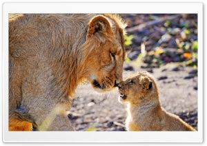 Lion and Son HD Wide Wallpaper for Widescreen