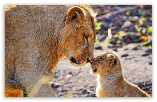Lion and Son ❤ 4K UHD Wallpaper for Wide 16:10 5:3 Widescreen WHXGA WQXGA WUXGA WXGA WGA ; 4K UHD 16:9 Ultra High Definition 2160p 1440p 1080p 900p 720p ; Standard 4:3 5:4 3:2 Fullscreen UXGA XGA SVGA QSXGA SXGA DVGA HVGA HQVGA ( Apple PowerBook G4 iPhone 4 3G 3GS iPod Touch ) ; Smartphone 16:9 3:2 5:3 2160p 1440p 1080p 900p 720p DVGA HVGA HQVGA ( Apple PowerBook G4 iPhone 4 3G 3GS iPod Touch ) WGA ; Tablet 1:1 ; iPad 1/2/Mini ; Mobile 4:3 5:3 3:2 16:9 5:4 - UXGA XGA SVGA WGA DVGA HVGA HQVGA ( Apple PowerBook G4 iPhone 4 3G 3GS iPod Touch ) 2160p 1440p 1080p 900p 720p QSXGA SXGA ;