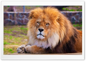 Lion At The Zoo HD Wide Wallpaper for Widescreen