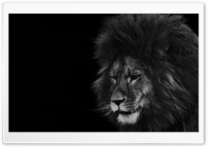Lion Black and White Ultra HD Wallpaper for 4K UHD Widescreen desktop, tablet & smartphone