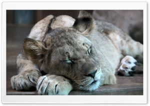 Lion Cub HD Wide Wallpaper for Widescreen