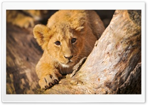 Lion Cub In Ambush HD Wide Wallpaper for Widescreen