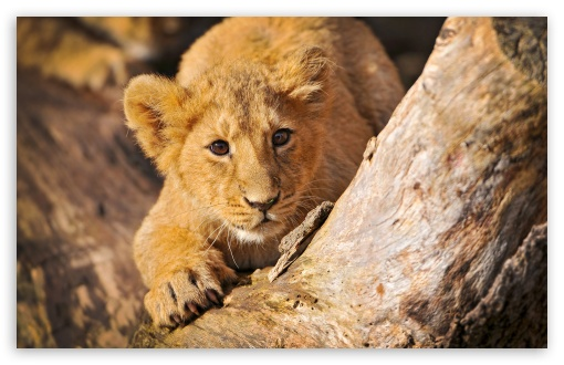 Lion Cub In Ambush HD wallpaper for Wide 16:10 5:3 Widescreen WHXGA WQXGA WUXGA WXGA WGA ; HD 16:9 High Definition WQHD QWXGA 1080p 900p 720p QHD nHD ; Standard 4:3 5:4 3:2 Fullscreen UXGA XGA SVGA QSXGA SXGA DVGA HVGA HQVGA devices ( Apple PowerBook G4 iPhone 4 3G 3GS iPod Touch ) ; Tablet 1:1 ; iPad 1/2/Mini ; Mobile 4:3 5:3 3:2 16:9 5:4 - UXGA XGA SVGA WGA DVGA HVGA HQVGA devices ( Apple PowerBook G4 iPhone 4 3G 3GS iPod Touch ) WQHD QWXGA 1080p 900p 720p QHD nHD QSXGA SXGA ;