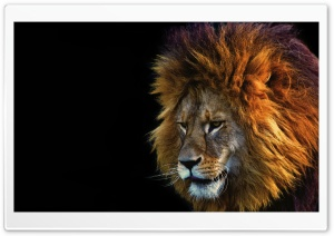 Lion Face Male Ultra HD Wallpaper for 4K UHD Widescreen desktop, tablet & smartphone