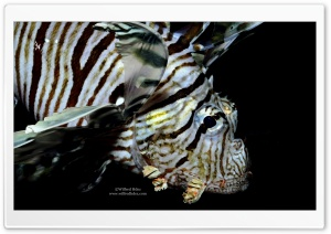 Lion Fish, Red Sea HD Wide Wallpaper for Widescreen