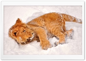 Lion In Snow HD Wide Wallpaper for 4K UHD Widescreen desktop & smartphone