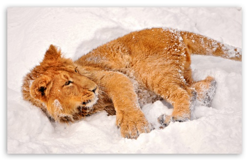 Lion In Snow ❤ 4K UHD Wallpaper for Wide 16:10 5:3 Widescreen WHXGA WQXGA WUXGA WXGA WGA ; 4K UHD 16:9 Ultra High Definition 2160p 1440p 1080p 900p 720p ; Standard 3:2 Fullscreen DVGA HVGA HQVGA ( Apple PowerBook G4 iPhone 4 3G 3GS iPod Touch ) ; Mobile 5:3 3:2 16:9 - WGA DVGA HVGA HQVGA ( Apple PowerBook G4 iPhone 4 3G 3GS iPod Touch ) 2160p 1440p 1080p 900p 720p ;