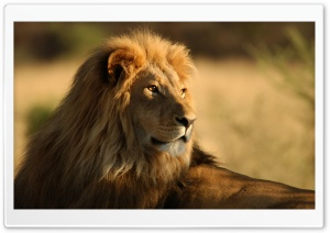Lion In The Wild HD Wide Wallpaper for Widescreen