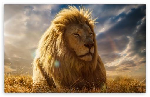 Lion king 4k hd desktop wallpaper for 4k ultra hd tv - Lion 4k wallpaper for mobile ...