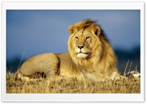 Lion Looking Into The Distance Ultra HD Wallpaper for 4K UHD Widescreen desktop, tablet & smartphone