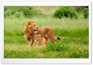 Lion Pair HD Wide Wallpaper for Widescreen