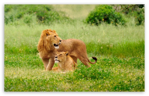 Lion Pair UltraHD Wallpaper for Wide 16:10 5:3 Widescreen WHXGA WQXGA WUXGA WXGA WGA ; 8K UHD TV 16:9 Ultra High Definition 2160p 1440p 1080p 900p 720p ; Standard 4:3 5:4 3:2 Fullscreen UXGA XGA SVGA QSXGA SXGA DVGA HVGA HQVGA ( Apple PowerBook G4 iPhone 4 3G 3GS iPod Touch ) ; Tablet 1:1 ; iPad 1/2/Mini ; Mobile 4:3 5:3 3:2 16:9 5:4 - UXGA XGA SVGA WGA DVGA HVGA HQVGA ( Apple PowerBook G4 iPhone 4 3G 3GS iPod Touch ) 2160p 1440p 1080p 900p 720p QSXGA SXGA ; Dual 4:3 5:4 UXGA XGA SVGA QSXGA SXGA ;