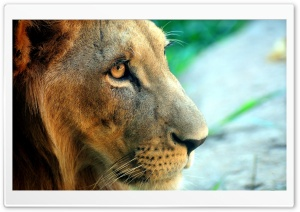 Lion Side Portrait HD Wide Wallpaper for Widescreen