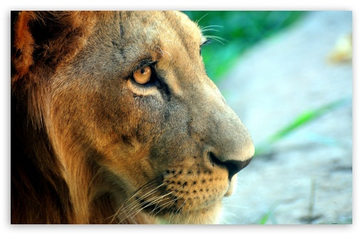 Lion Side Portrait HD wallpaper for Wide 16:10 5:3 Widescreen WHXGA WQXGA WUXGA WXGA WGA ; HD 16:9 High Definition WQHD QWXGA 1080p 900p 720p QHD nHD ; Standard 4:3 5:4 3:2 Fullscreen UXGA XGA SVGA QSXGA SXGA DVGA HVGA HQVGA devices ( Apple PowerBook G4 iPhone 4 3G 3GS iPod Touch ) ; iPad 1/2/Mini ; Mobile 4:3 5:3 3:2 16:9 5:4 - UXGA XGA SVGA WGA DVGA HVGA HQVGA devices ( Apple PowerBook G4 iPhone 4 3G 3GS iPod Touch ) WQHD QWXGA 1080p 900p 720p QHD nHD QSXGA SXGA ;
