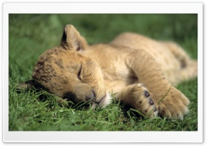 Lion Young Sleeping HD Wide Wallpaper for Widescreen