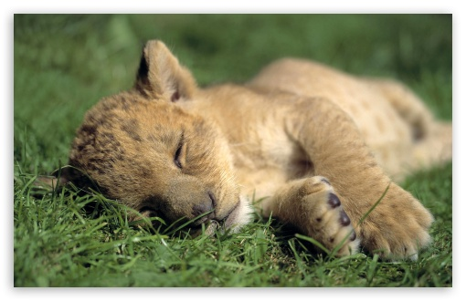 Lion Young Sleeping UltraHD Wallpaper for Wide 16:10 5:3 Widescreen WHXGA WQXGA WUXGA WXGA WGA ; 8K UHD TV 16:9 Ultra High Definition 2160p 1440p 1080p 900p 720p ; Standard 3:2 Fullscreen DVGA HVGA HQVGA ( Apple PowerBook G4 iPhone 4 3G 3GS iPod Touch ) ; Mobile 5:3 3:2 16:9 - WGA DVGA HVGA HQVGA ( Apple PowerBook G4 iPhone 4 3G 3GS iPod Touch ) 2160p 1440p 1080p 900p 720p ;