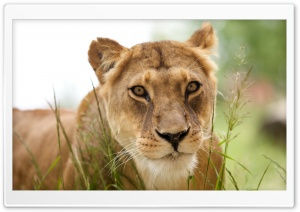 Lioness HD Wide Wallpaper for Widescreen