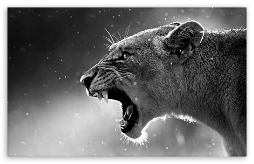 Lioness HD wallpaper for Wide 16:10 5:3 Widescreen WHXGA WQXGA WUXGA WXGA WGA ; HD 16:9 High Definition WQHD QWXGA 1080p 900p 720p QHD nHD ; UHD 16:9 WQHD QWXGA 1080p 900p 720p QHD nHD ; Standard 4:3 5:4 3:2 Fullscreen UXGA XGA SVGA QSXGA SXGA DVGA HVGA HQVGA devices ( Apple PowerBook G4 iPhone 4 3G 3GS iPod Touch ) ; Tablet 1:1 ; iPad 1/2/Mini ; Mobile 4:3 5:3 3:2 16:9 5:4 - UXGA XGA SVGA WGA DVGA HVGA HQVGA devices ( Apple PowerBook G4 iPhone 4 3G 3GS iPod Touch ) WQHD QWXGA 1080p 900p 720p QHD nHD QSXGA SXGA ;
