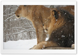 Lioness And Lion HD Wide Wallpaper for Widescreen